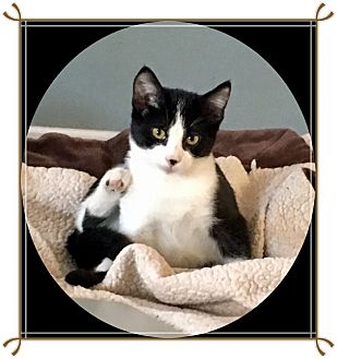 Domestic Shorthair Kitten for adoption in Mt. Prospect, Illinois - Obsidian