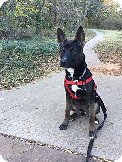 Husky/Shepherd (Unknown Type) Mix Dog for adoption in oklahoma city, Oklahoma - Madison