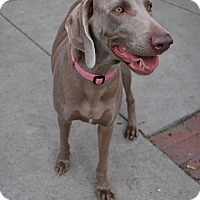 Adopt A Pet :: Layla - Sun Valley, CA