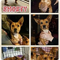 Adopt A Pet :: Shorty-pending adoption - Manchester, CT