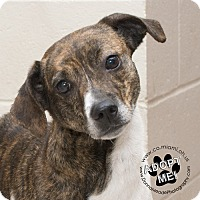 Beagle/Jack Russell Terrier Mix Dog for adoption in Troy, Ohio - Bella