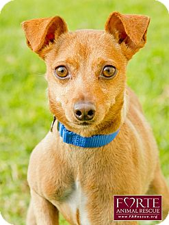 Miniature Pinscher/Jack Russell Terrier Mix Dog for adoption in Marina del Rey, California - Boots