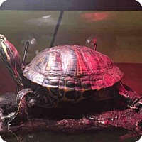 Turtle - Other for adoption in Urbana, Illinois - CHRISSY