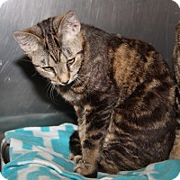 Adopt A Pet :: Miss Kitty (Spayed) - Marietta, OH