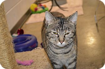 Domestic Shorthair Cat for adoption in House Springs, Missouri - Angelica