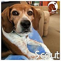 Adopt A Pet :: Scout - Novi, MI