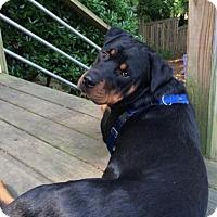 Rottweiler Dog for adoption in White Hall, Arkansas - Herschel (Independent Adoption)