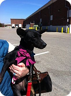 Miniature Pinscher Mix Dog for adoption in Birmingham, Michigan - ESMAY