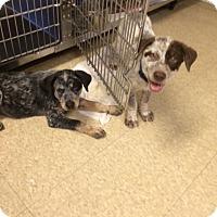 Adopt A Pet :: Maverick - Fair Oaks Ranch, TX