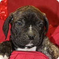 Adopt A Pet :: Milk Dud - Waldorf, MD