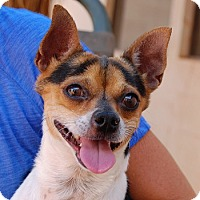 Jack Russell Terrier Mix Dog for adoption in Las Vegas, Nevada - Merlin