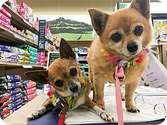Chihuahua Dog for adoption in Waipahu, Hawaii - Li'i and Kiki