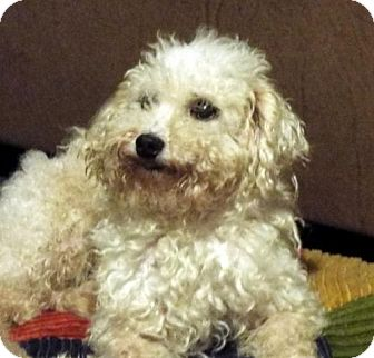 Poodle (Miniature) Dog for adoption in Conway, Arkansas - Henry