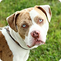 Staffordshire Bull Terrier/Catahoula Leopard Dog Mix Puppy for adoption in Lafayette, Indiana - Brad Pit