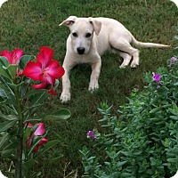 Labrador Retriever Mix Puppy for adoption in Manchester, New Hampshire - Sophie - pending