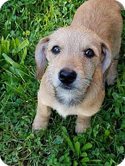 Terrier (Unknown Type, Small)/Dachshund Mix Puppy for adoption in Columbus, Ohio - Madonna