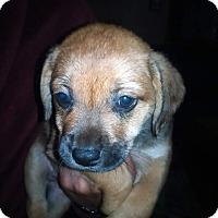 Adopt A Pet :: Topaz - Kendall, NY