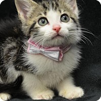 Domestic Shorthair Kitten for adoption in Atlanta, Georgia - Nancy 161857
