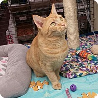 Domestic Shorthair Cat for adoption in Parker Ford, Pennsylvania - Cameo