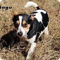 Adopt A Pet :: Ringo - Texarkana, AR