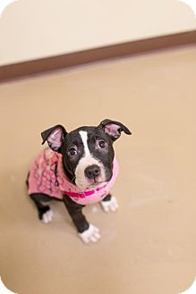 Pit Bull Terrier Mix Dog for adoption in Rochester, New York - Blossom
