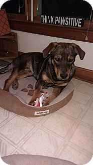 Labrador Retriever/Retriever (Unknown Type) Mix Puppy for adoption in Warrenton, North Carolina - Prince