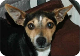 Terrier (Unknown Type, Small) Mix Dog for adoption in Lancaster, Kentucky - Little Bit