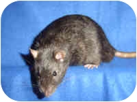 Rat for adoption in Winner, South Dakota - Nyx