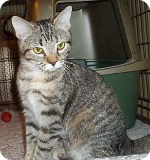 Domestic Shorthair Cat for adoption in Acme, Pennsylvania - Jemma