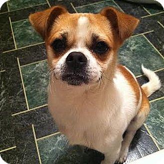 ... Adopted Dog | 2014028C | Waterloo, IL | Japanese Chin/Chihuahua Mix