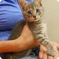 Adopt A Pet :: Stormy - Reston, VA