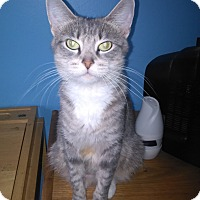 Domestic Shorthair Cat for adoption in Warren, Michigan - Dori
