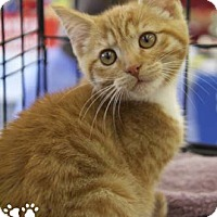 Adopt A Pet :: Kitten - Merrifield, VA