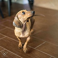 Dachshund Dog for adoption in Henderson, Nevada - Buttercup