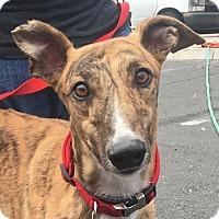 Adopt A Pet :: Levi - Tucson, AZ