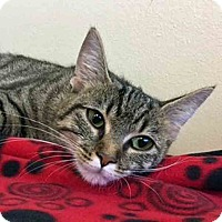 Domestic Shorthair Cat for adoption in Gahanna, Ohio - Scarlet
