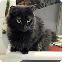 Domestic Mediumhair Cat for adoption in Topeka, Kansas - Purrito