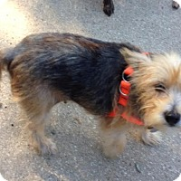 Yorkie, Yorkshire Terrier/Schnauzer (Miniature) Mix Dog for adoption in Memphis, Tennessee - Liza