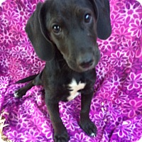 Dachshund/Beagle Mix Puppy for adoption in Harrisburg, Pennsylvania - Dolly