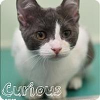 Adopt A Pet :: Curious - Burlington, KY