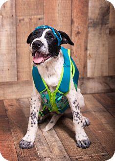 Shepherd (Unknown Type)/Terrier (Unknown Type, Medium) Mix Puppy for adoption in Hagerstown, Maryland - Michael