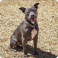 American Staffordshire Terrier Mix Dog for adoption in Napa, California - Milo