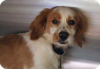 Cocker Spaniel/Terrier (Unknown Type, Medium) Mix Dog for adoption in Fort Madison, Iowa - Oedipus