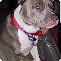 Adopt A Pet :: Holly **in a foster home** - Breinigsville, PA