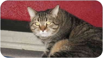 Domestic Shorthair Cat for adoption in Scottsdale, Arizona - Lucy