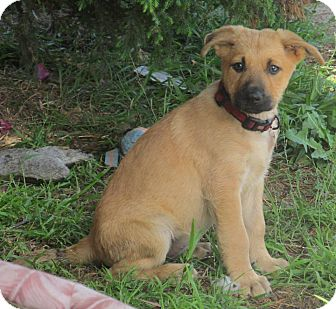 German Shepherd Dog/Labrador Retriever Mix Puppy for adoption in Torrance, California - LUANA