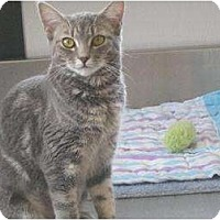 Domestic Shorthair Cat for adoption in Manning, South Carolina - Misty