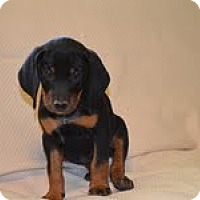 Adopt A Pet :: Bella - Conway, AR