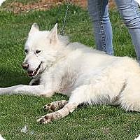 Adopt A Pet :: Zerk - Ashland, OR