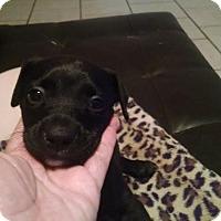 Adopt A Pet :: Miko - Tampa, FL